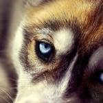 Animals-Dog-Joni-Niemela-Husky-720x1152