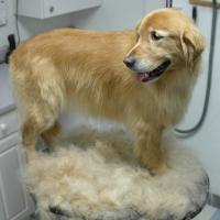 Furminator Golden